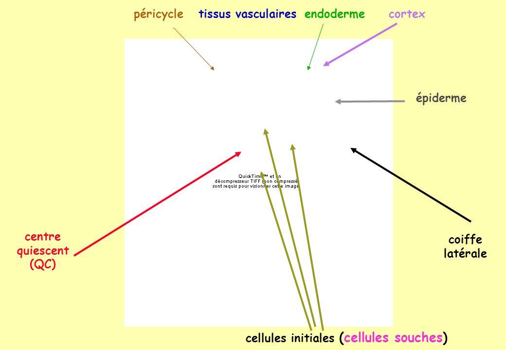 centre quiescent (QC) épiderme cellules initiales (cellules souches) coiffe latérale endodermecortexpéricycletissus vasculaires
