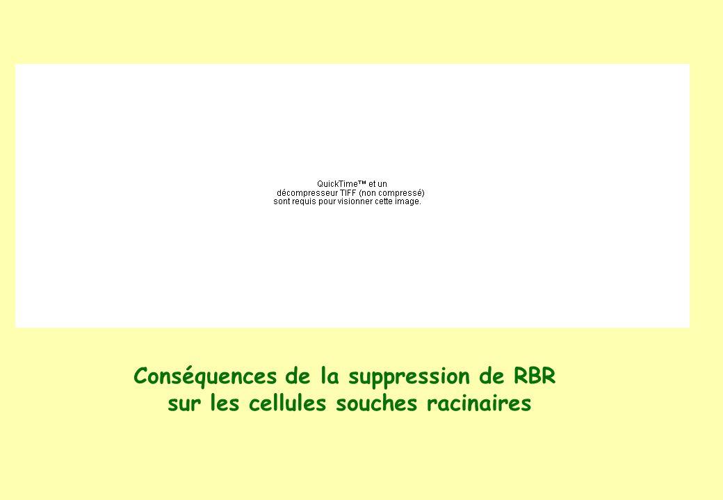 Conséquences de la suppression de RBR sur les cellules souches racinaires