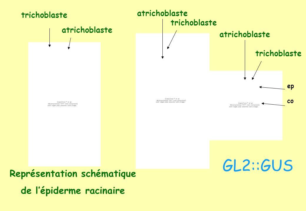 trichoblaste atrichoblaste trichoblaste atrichoblaste Représentation schématique de lépiderme racinaire trichoblaste atrichoblaste GL2::GUS ep co