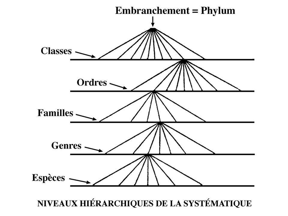 Phylogenèse : Histoire évolutive réelle Phylogénie : Histoire évolutive « reconstruite »