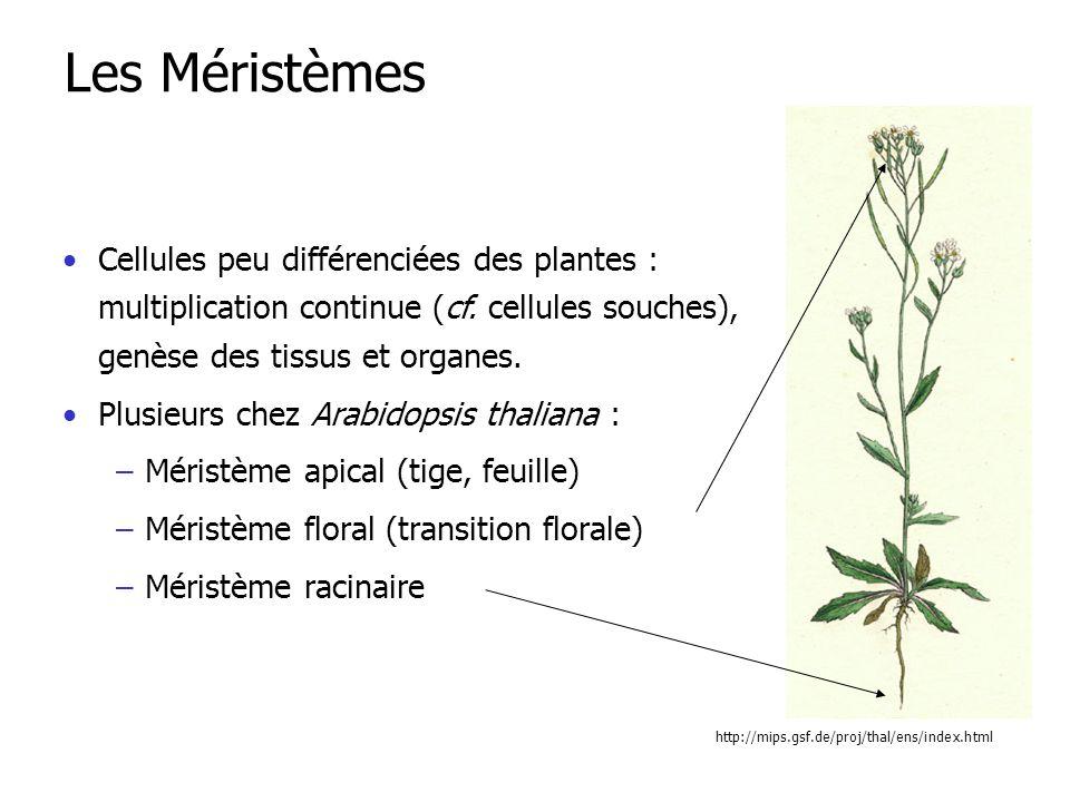 Cellules peu différenciées des plantes : multiplication continue (cf.