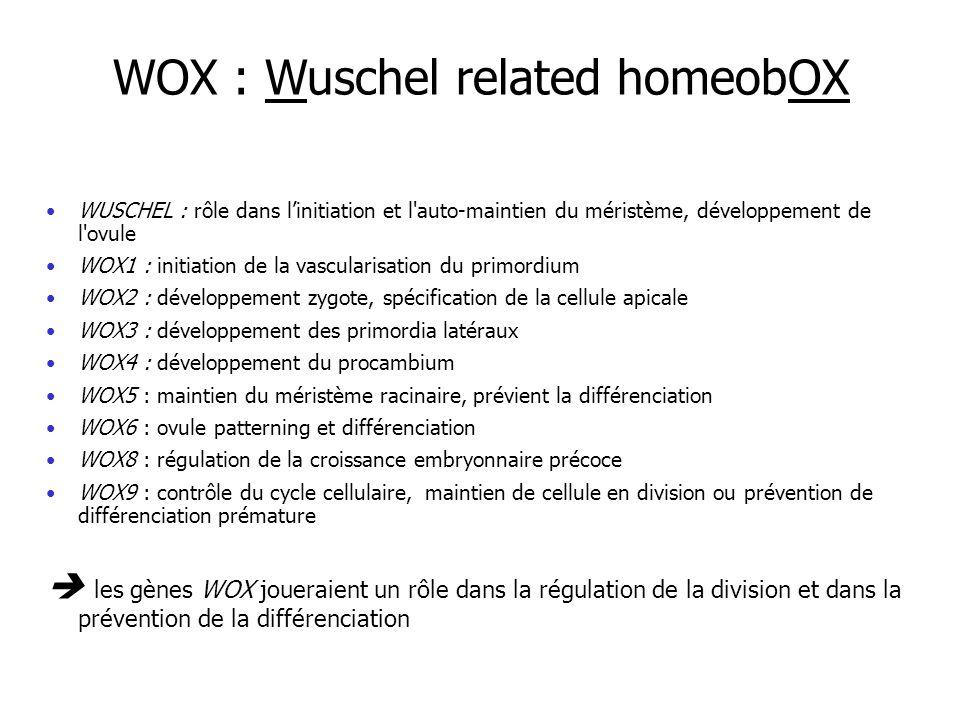 WUSCHEL : rôle dans linitiation et l auto-maintien du méristème, développement de l ovule WOX1 : initiation de la vascularisation du primordium WOX2 : développement zygote, spécification de la cellule apicale WOX3 : développement des primordia latéraux WOX4 : développement du procambium WOX5 : maintien du méristème racinaire, prévient la différenciation WOX6 : ovule patterning et différenciation WOX8 : régulation de la croissance embryonnaire précoce WOX9 : contrôle du cycle cellulaire, maintien de cellule en division ou prévention de différenciation prémature les gènes WOX joueraient un rôle dans la régulation de la division et dans la prévention de la différenciation WOX : Wuschel related homeobOX
