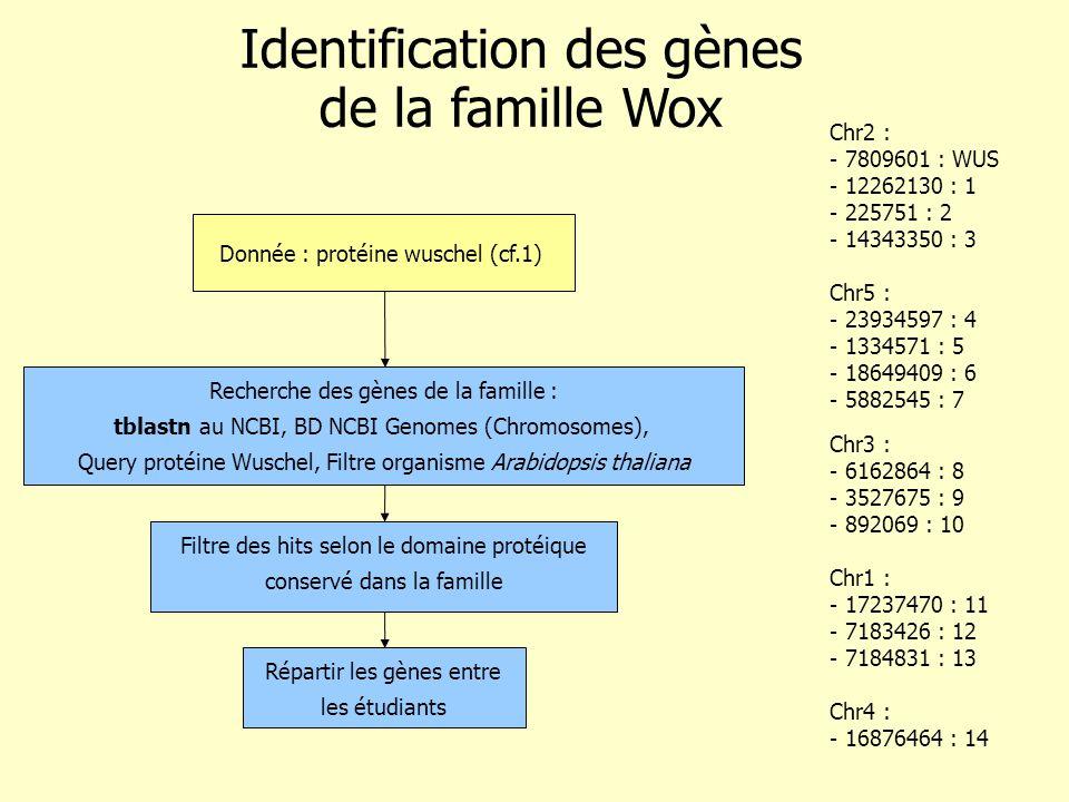 Donnée : protéine wuschel (cf.1) Identification des gènes de la famille Wox Répartir les gènes entre les étudiants Recherche des gènes de la famille : tblastn au NCBI, BD NCBI Genomes (Chromosomes), Query protéine Wuschel, Filtre organisme Arabidopsis thaliana Chr2 : - 7809601 : WUS - 12262130 : 1 - 225751 : 2 - 14343350 : 3 Chr5 : - 23934597 : 4 - 1334571 : 5 - 18649409 : 6 - 5882545 : 7 Chr3 : - 6162864 : 8 - 3527675 : 9 - 892069 : 10 Chr1 : - 17237470 : 11 - 7183426 : 12 - 7184831 : 13 Chr4 : - 16876464 : 14 Filtre des hits selon le domaine protéique conservé dans la famille