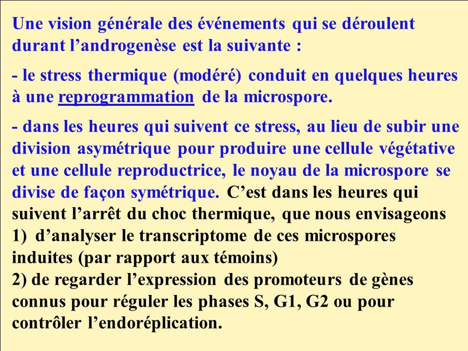 Une vision générale des événements qui se déroulent durant landrogenèse est la suivante : - le stress thermique (modéré) conduit en quelques heures à