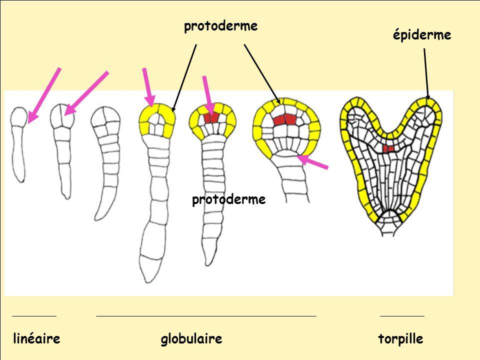 protoderme épiderme protoderme globulairelinéairetorpille