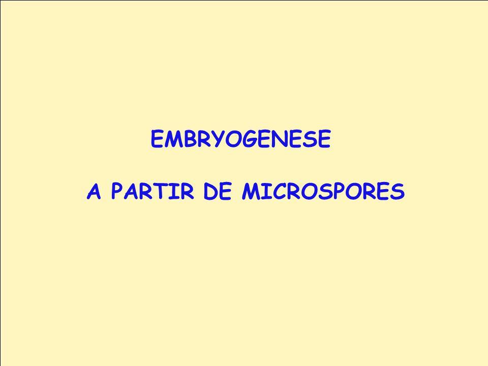 EMBRYOGENESE A PARTIR DE MICROSPORES