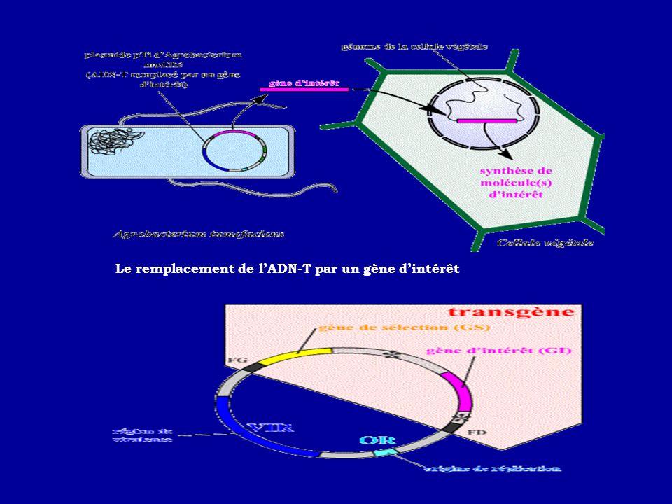 Le remplacement de lADN-T par un gène dintérêt