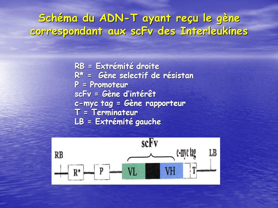 RB = Extrémité droite R* = Gène selectif de résistan P = Promoteur scFv = Gène dintérêt c-myc tag = Gène rapporteur T = Terminateur LB = Extrémité gau