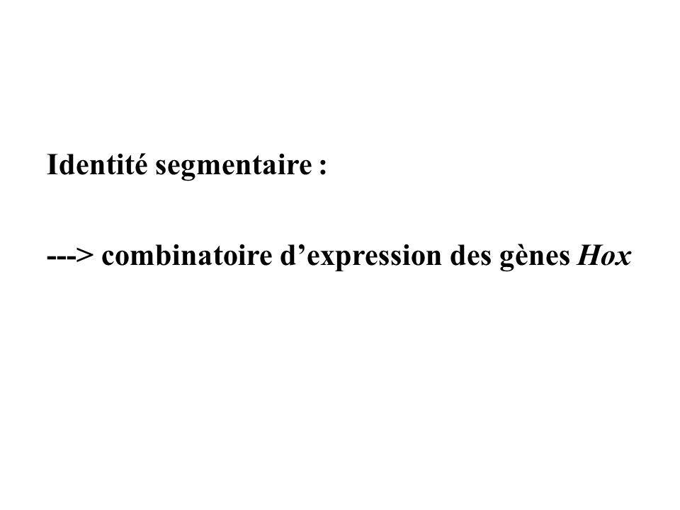 Identité segmentaire : ---> combinatoire dexpression des gènes Hox