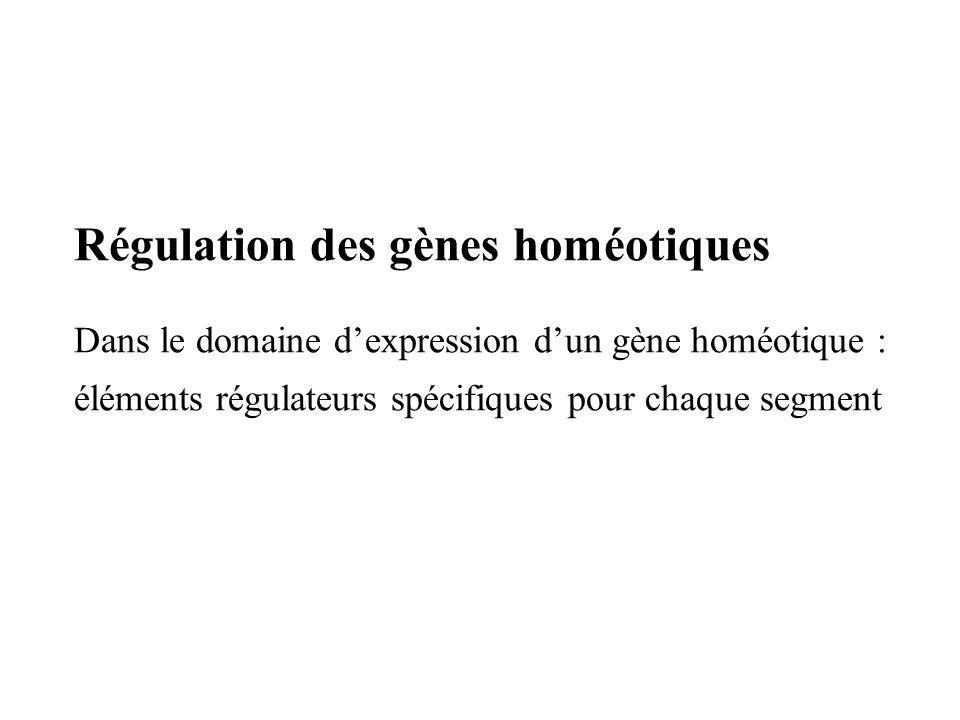 Régulation des gènes homéotiques Dans le domaine dexpression dun gène homéotique : éléments régulateurs spécifiques pour chaque segment