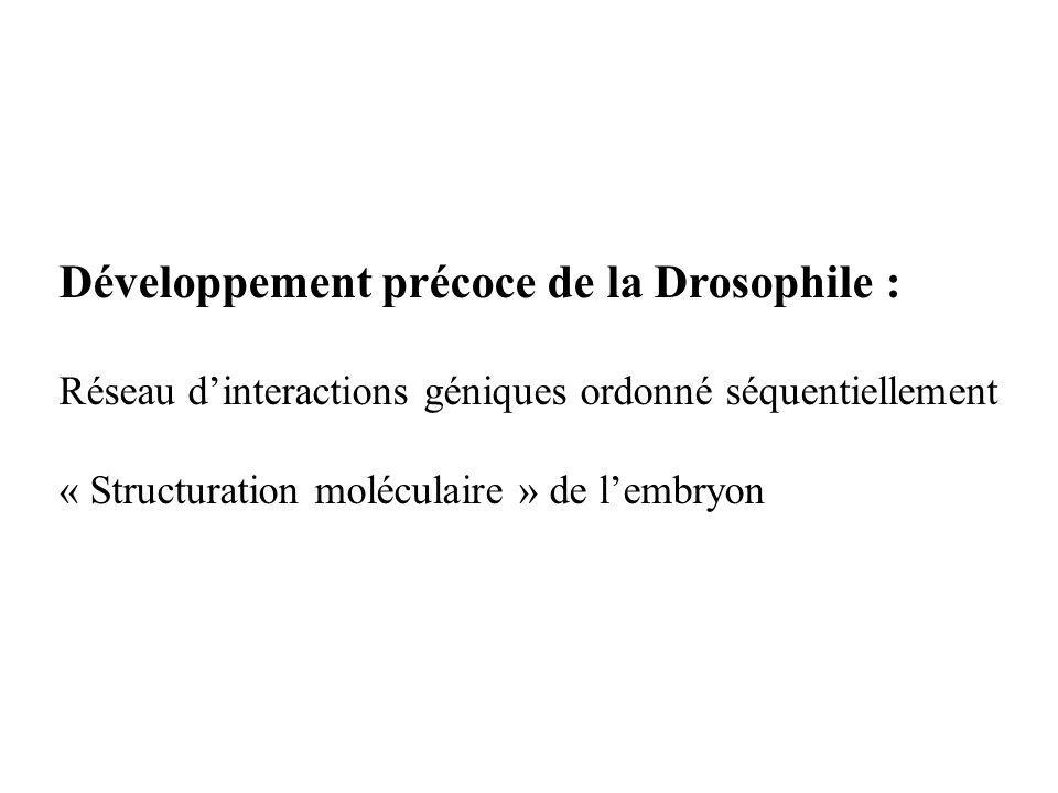 Développement précoce de la Drosophile : Réseau dinteractions géniques ordonné séquentiellement « Structuration moléculaire » de lembryon