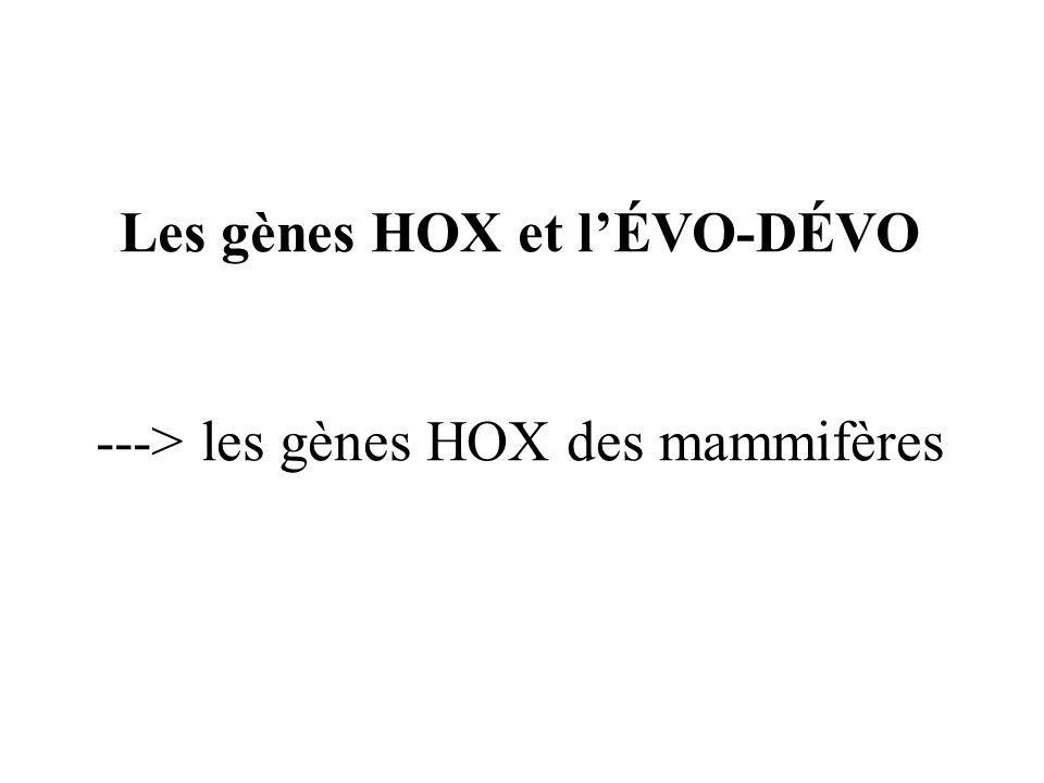 Les gènes HOX et lÉVO-DÉVO ---> les gènes HOX des mammifères