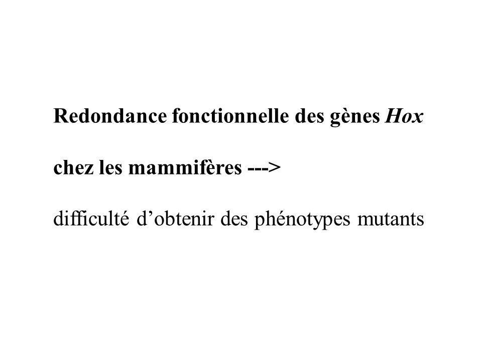 Redondance fonctionnelle des gènes Hox chez les mammifères ---> difficulté dobtenir des phénotypes mutants
