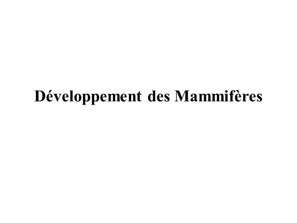 Développement des Mammifères