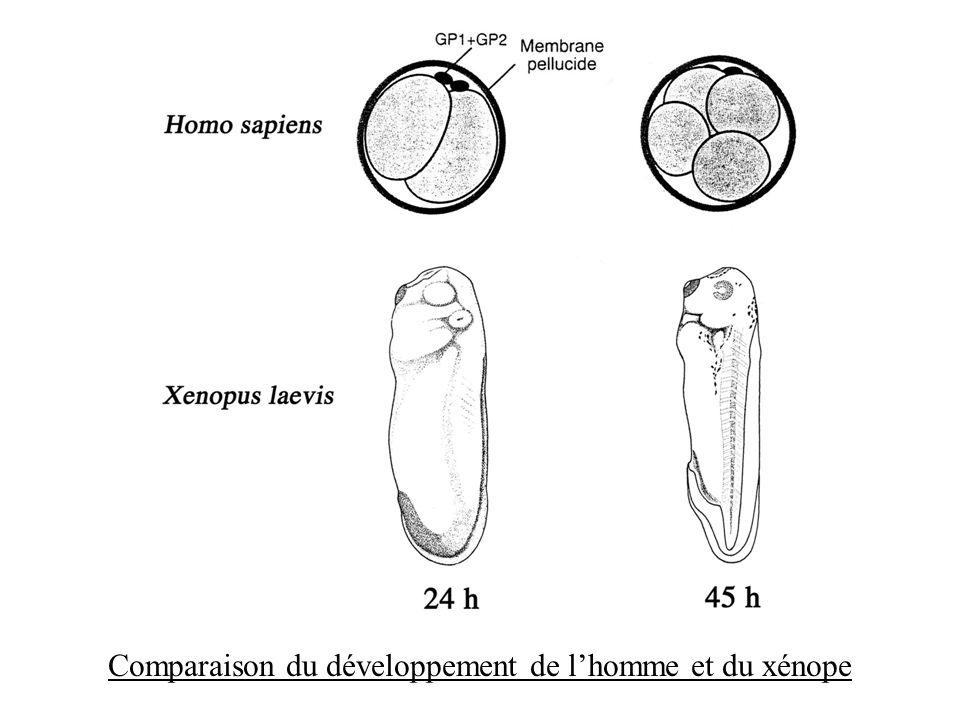Comparaison du développement de lhomme et du xénope