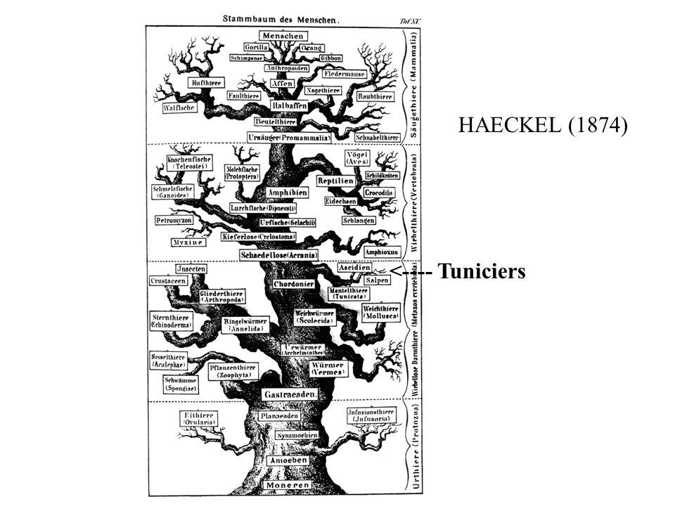 <---- Tuniciers HAECKEL (1874)
