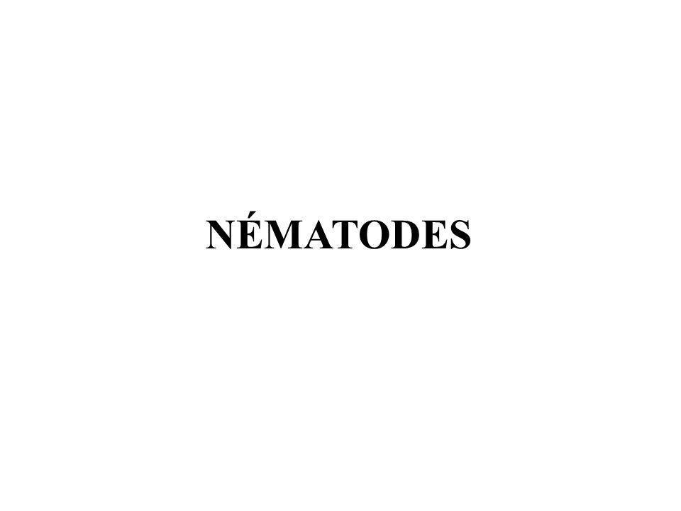 Hermaphrodite : XX (mâle, puis femelle) Mâle : X0 (1/700)