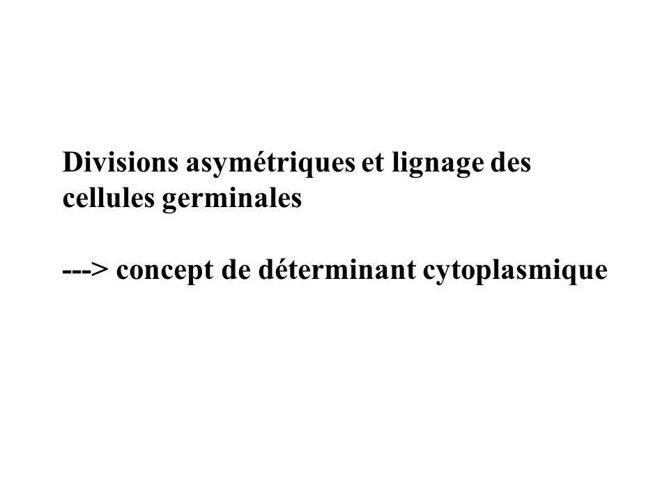 Divisions asymétriques et lignage des cellules germinales ---> concept de déterminant cytoplasmique