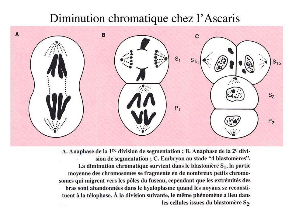 Développement typique de Deutérostomien