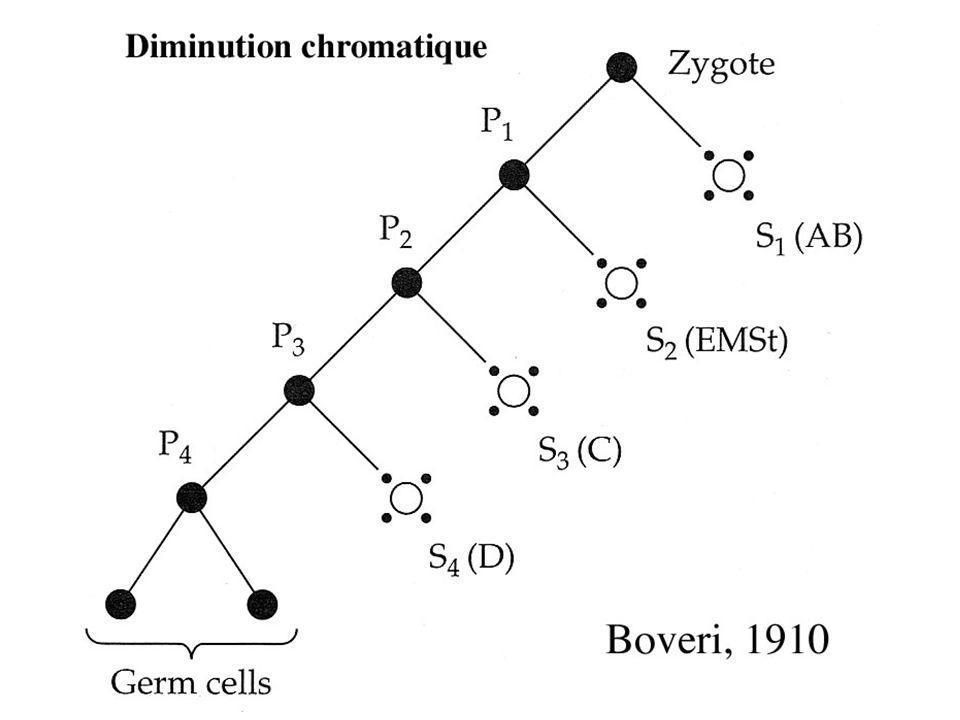 Caenorhabditis elegans Intérêts du modèle