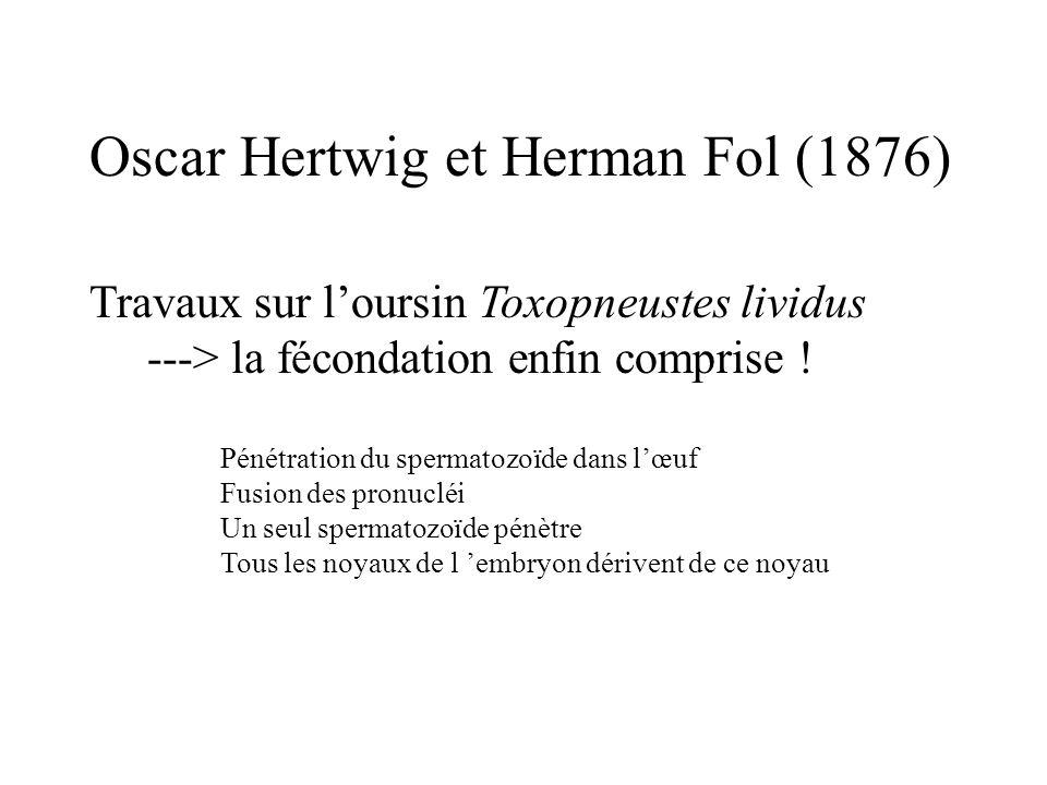 Oscar Hertwig et Herman Fol (1876) Travaux sur loursin Toxopneustes lividus ---> la fécondation enfin comprise ! Pénétration du spermatozoïde dans lœu