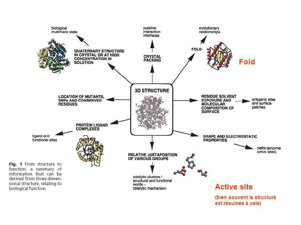 Active site (bien souvent la structure est résumée à cela) Fold
