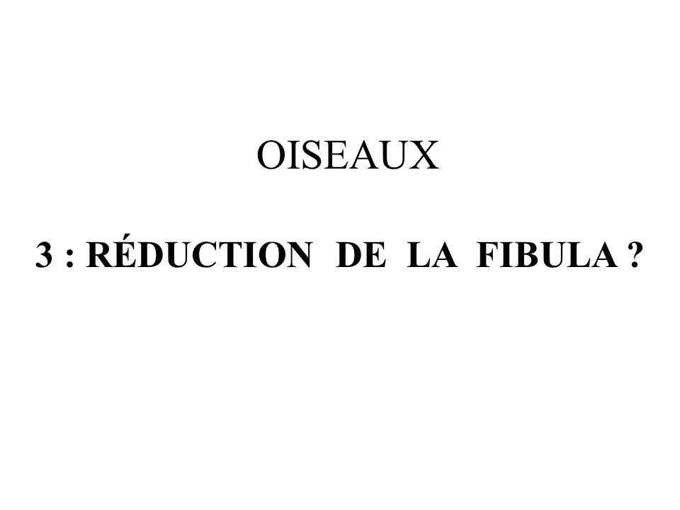 3 : RÉDUCTION DE LA FIBULA ? OISEAUX