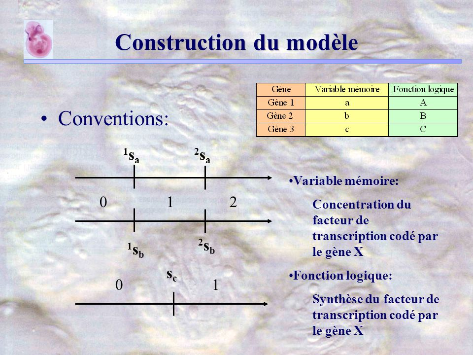 Construction du modèle Conventions: 1sa1sa 2sa2sa 1sb1sb 2sb2sb scsc 012 01 Variable mémoire: Concentration du facteur de transcription codé par le gène X Fonction logique: Synthèse du facteur de transcription codé par le gène X