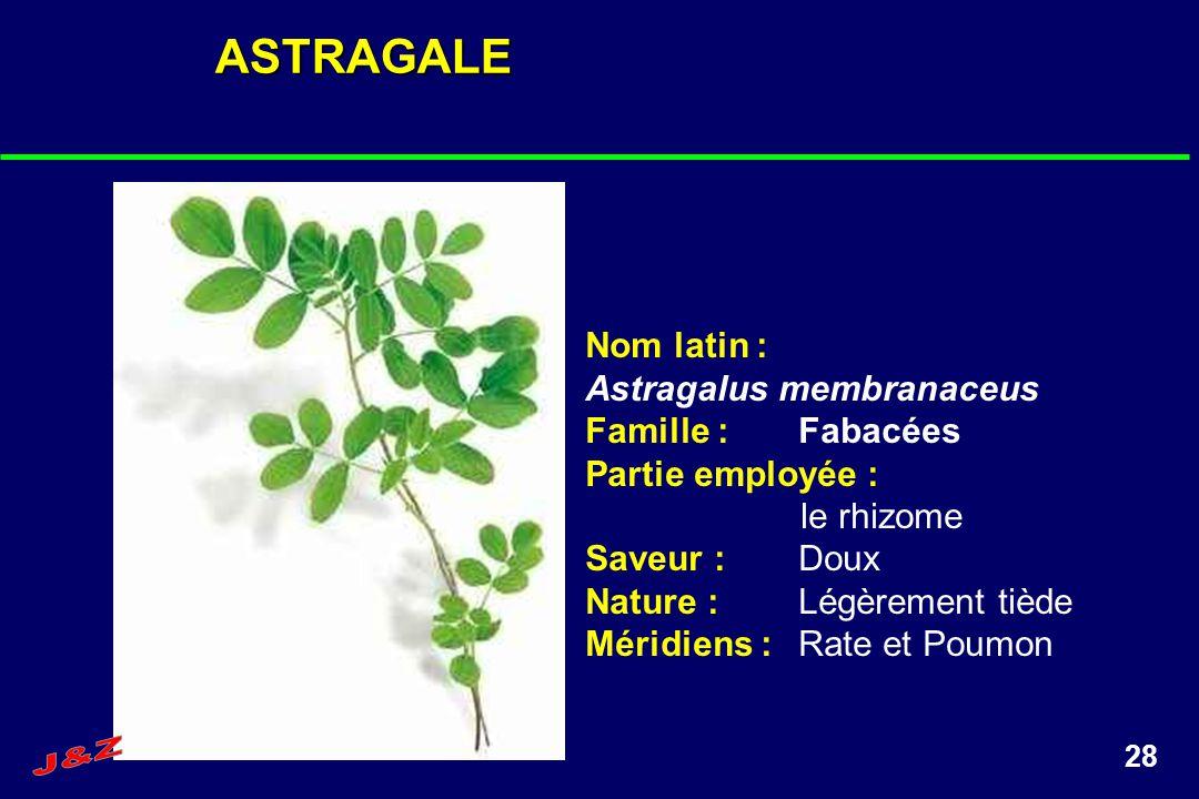 28ASTRAGALE Nom latin : Astragalus membranaceus Famille :Fabacées Partie employée : le rhizome Saveur :Doux Nature :Légèrement tiède Méridiens :Rate e