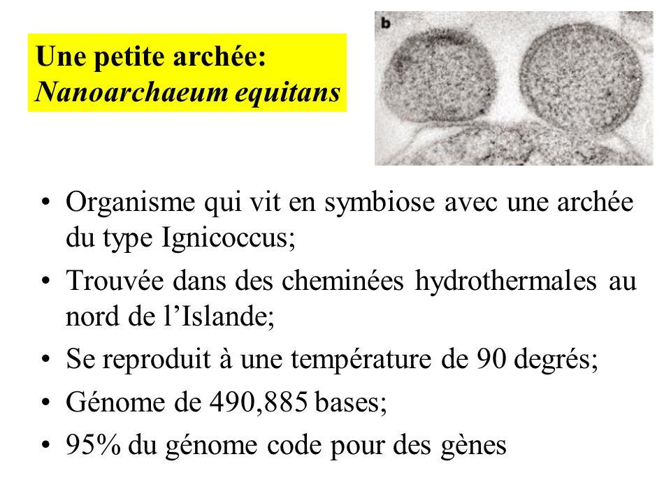 Organisme qui vit en symbiose avec une archée du type Ignicoccus; Trouvée dans des cheminées hydrothermales au nord de lIslande; Se reproduit à une te