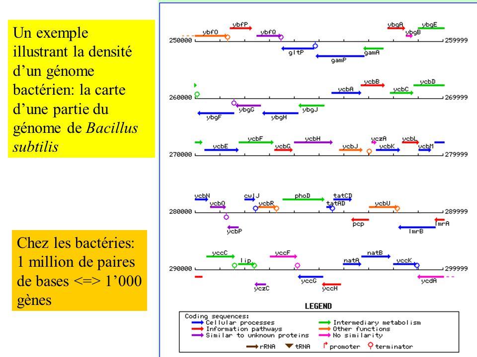 Un exemple illustrant la densité dun génome bactérien: la carte dune partie du génome de Bacillus subtilis Chez les bactéries: 1 million de paires de