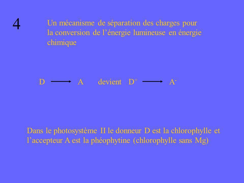 4 Un mécanisme de séparation des charges pour la conversion de lénergie lumineuse en énergie chimique DAdevientD+D+ A-A- Dans le photosystème II le do