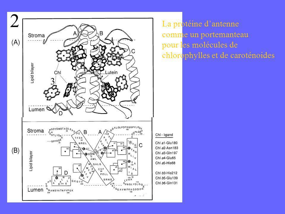 La protéine dantenne comme un portemanteau pour les molécules de chlorophylles et de caroténoides 2 3