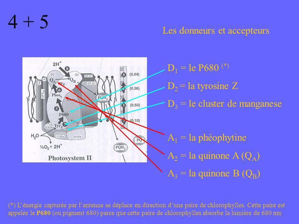 4 + 5 Les donneurs et accepteurs D 1 = le P680 (*) D 2 = la tyrosine Z D 3 = le cluster de manganese A 1 = la phéophytine A 2 = la quinone A (Q A ) A