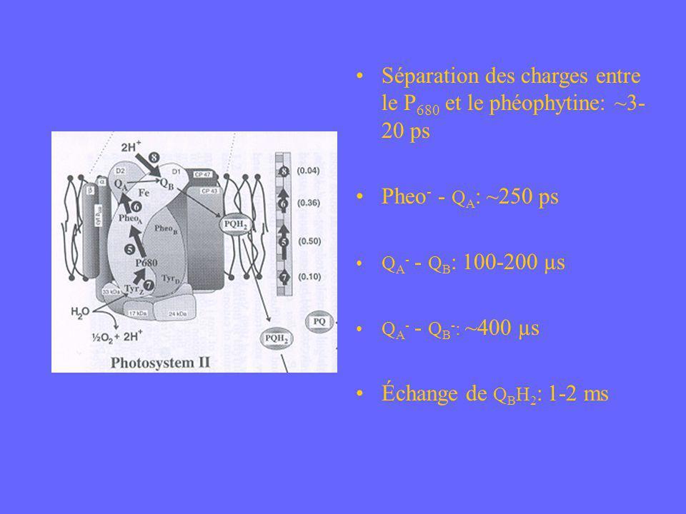 Séparation des charges entre le P 680 et le phéophytine: ~3- 20 ps Pheo - - Q A : ~250 ps Q A - - Q B : 100-200 µs Q A - - Q B - : ~400 µs Échange de