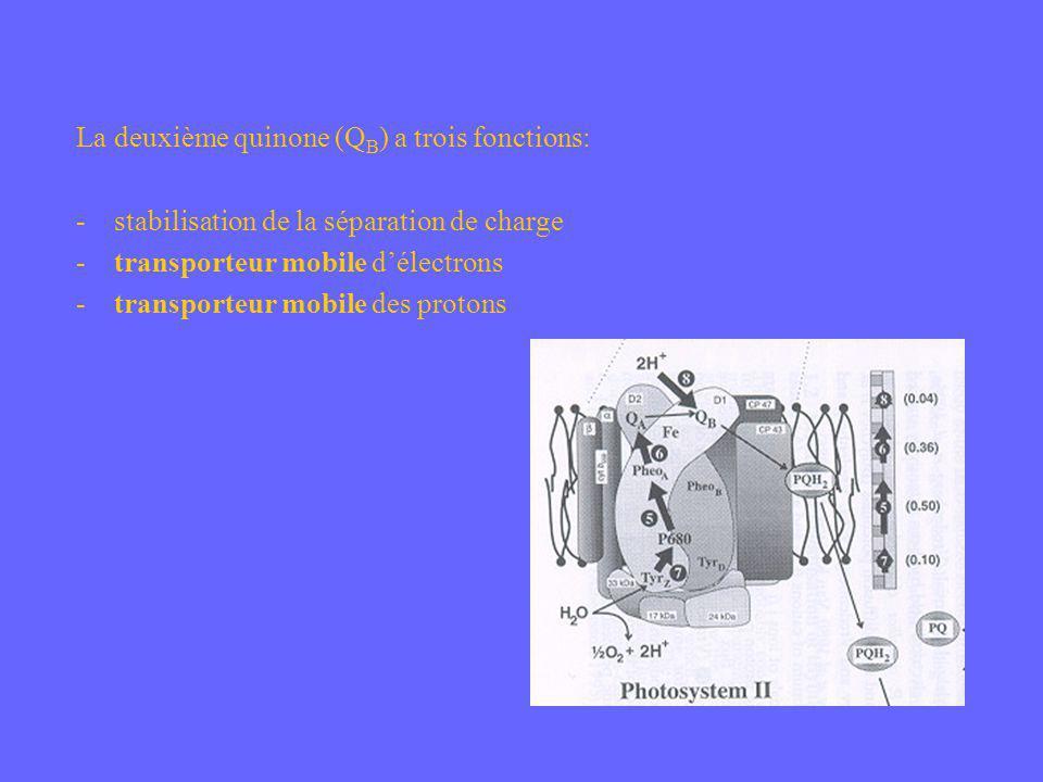 La deuxième quinone (Q B ) a trois fonctions: - stabilisation de la séparation de charge - transporteur mobile délectrons - transporteur mobile des pr