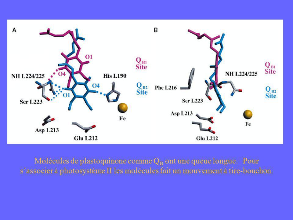 Molécules de plastoquinone comme Q B ont une queue longue. Pour sassocier à photosystème II les molécules fait un mouvement à tire-bouchon.