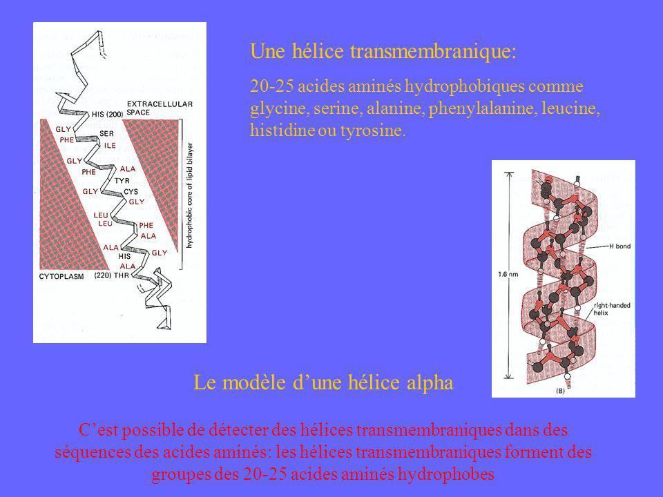 Une hélice transmembranique: 20-25 acides aminés hydrophobiques comme glycine, serine, alanine, phenylalanine, leucine, histidine ou tyrosine. Le modè