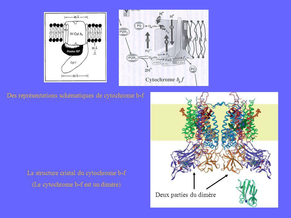 Des représentations schématiques de cytochrome b-f La structure cristal du cytochrome b-f (Le cytochrome b-f est un dimère) Deux parties du dimère