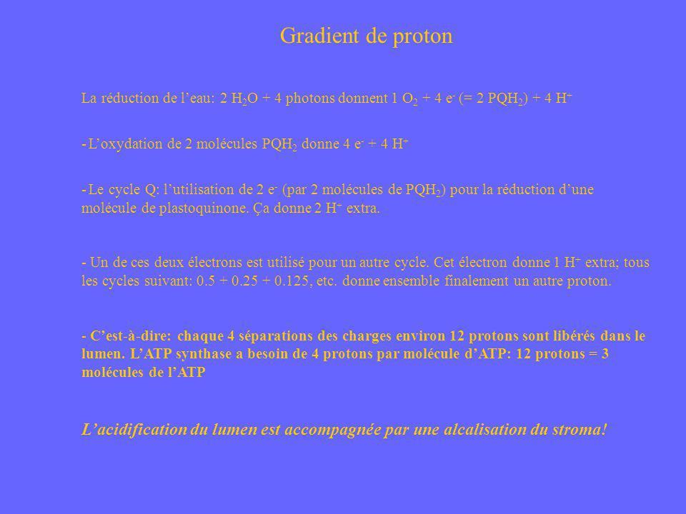 Gradient de proton La réduction de leau: 2 H 2 O + 4 photons donnent 1 O 2 + 4 e - (= 2 PQH 2 ) + 4 H + - Loxydation de 2 molécules PQH 2 donne 4 e -