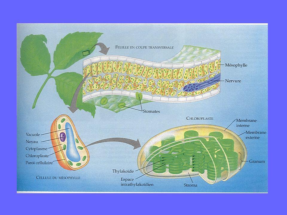 La formule générale de la photosynthèse des plantes: lumière CO 2 +2H 2 O (CH 2 O) + H 2 O + O 2 chlorophylle Van Niel, 1931