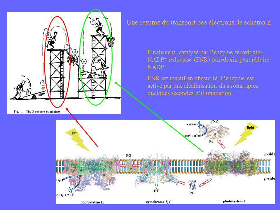 Une résumé du transport des électrons: le schéma Z Finalement, catalysé par lenzyme ferredoxin- NADP + -reductase (FNR) ferredoxin peut réduire NADP +