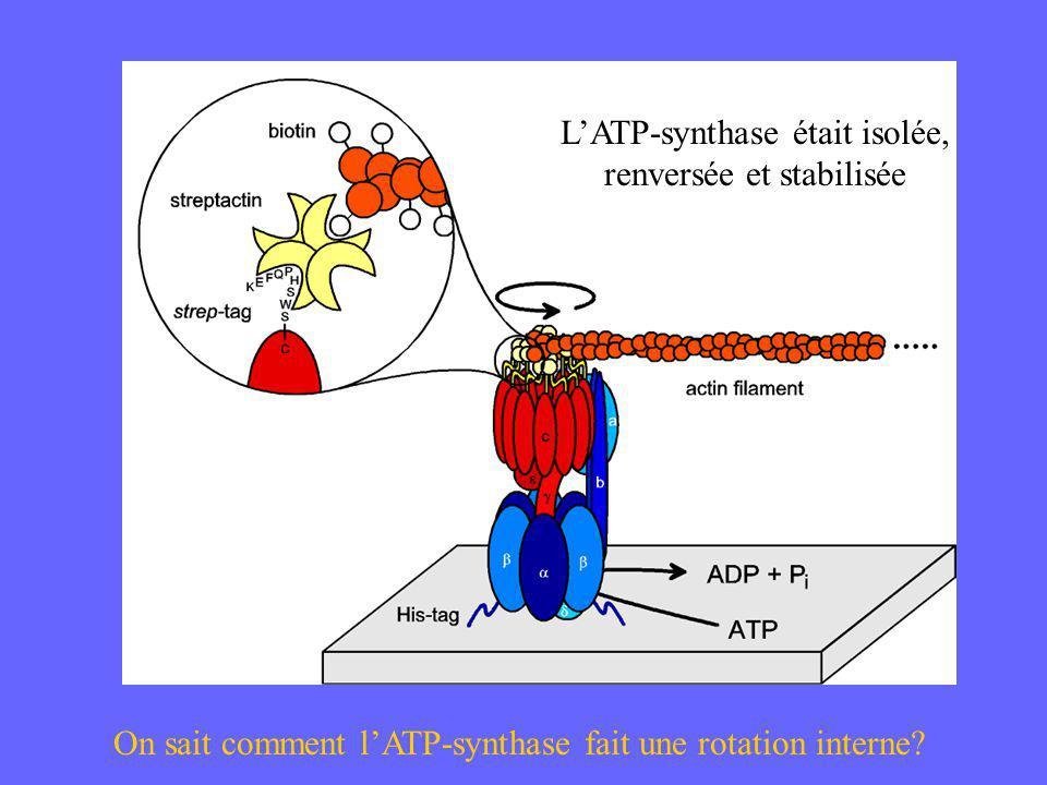 LATP-synthase était isolée, renversée et stabilisée On sait comment lATP-synthase fait une rotation interne?