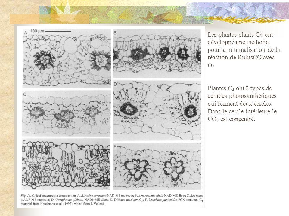 Les plantes plants C4 ont développé une méthode pour la minimalisation de la réaction de RubisCO avec O 2. Plantes C 4 ont 2 types de cellules photosy