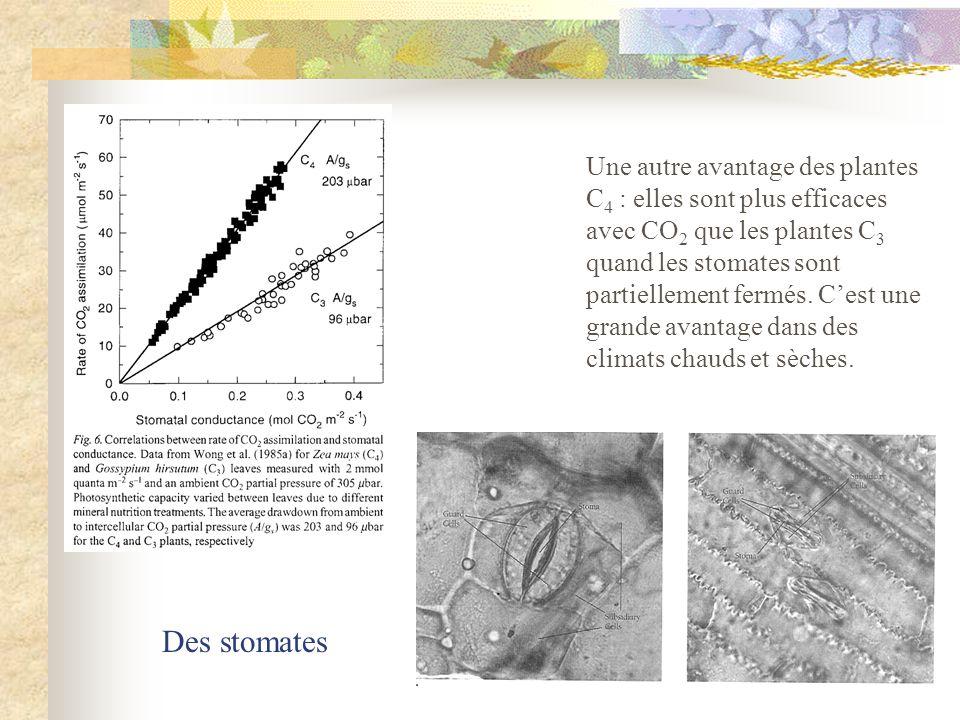 Une autre avantage des plantes C 4 : elles sont plus efficaces avec CO 2 que les plantes C 3 quand les stomates sont partiellement fermés. Cest une gr