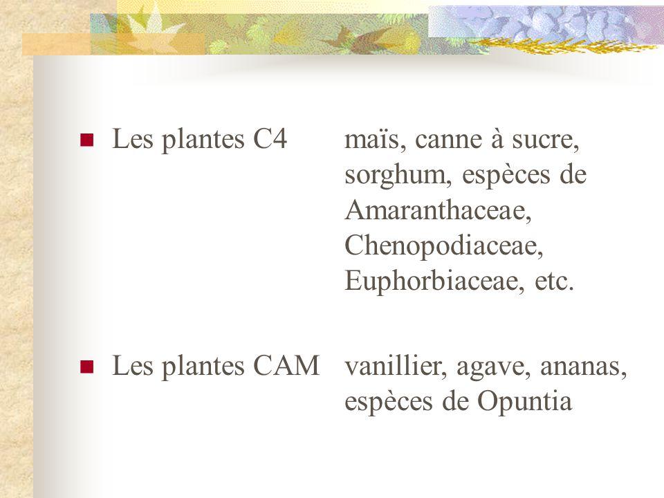 Les plantes C4maïs, canne à sucre, sorghum, espèces de Amaranthaceae, Chenopodiaceae, Euphorbiaceae, etc. Les plantes CAMvanillier, agave, ananas, esp