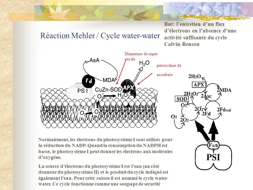 Réaction Mehler / Cycle water-water Normalement, les électrons du photosystème I sont utilisés pour la réduction du NADP. Quand la consomption du NADP
