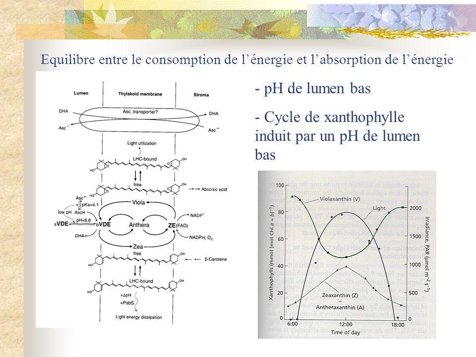 Equilibre entre le consomption de lénergie et labsorption de lénergie - pH de lumen bas - Cycle de xanthophylle induit par un pH de lumen bas