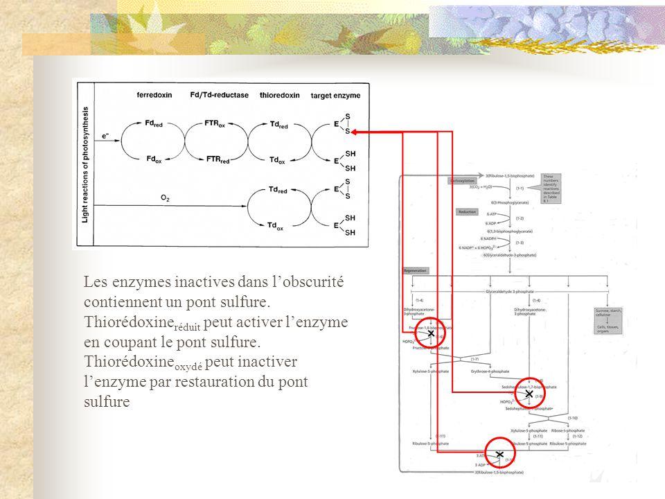 Les enzymes inactives dans lobscurité contiennent un pont sulfure. Thiorédoxine réduit peut activer lenzyme en coupant le pont sulfure. Thiorédoxine o