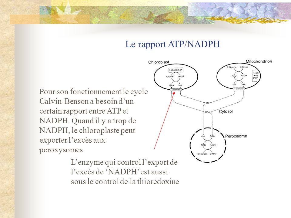 Le rapport ATP/NADPH Pour son fonctionnement le cycle Calvin-Benson a besoin dun certain rapport entre ATP et NADPH. Quand il y a trop de NADPH, le ch